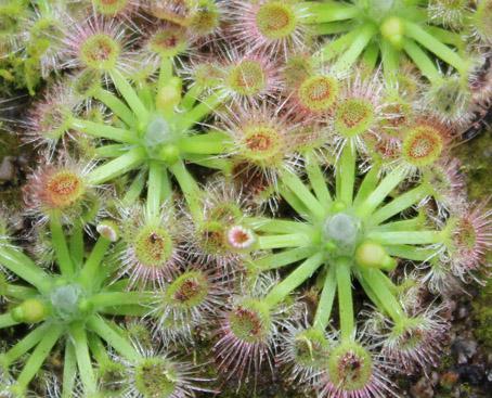 Drosera leucoblasta Benth autore Mario Toledo